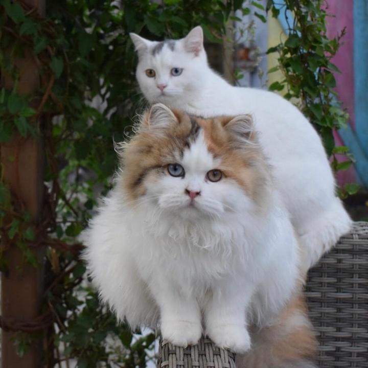 britishpromise.cats